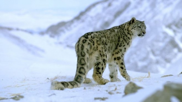 The Lair of the Snow Leopard